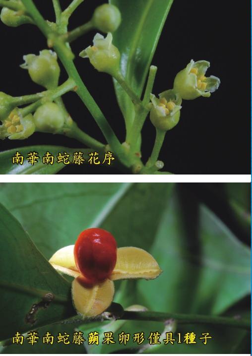 南華南蛇藤-花序.蒴果