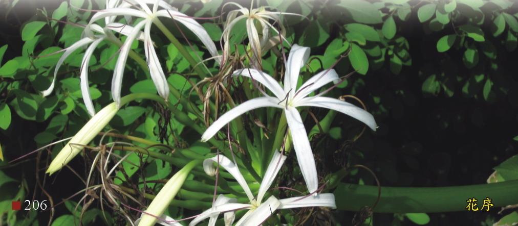 文殊蘭-花序