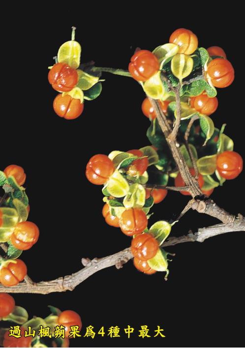 過山楓蒴果為4種最大