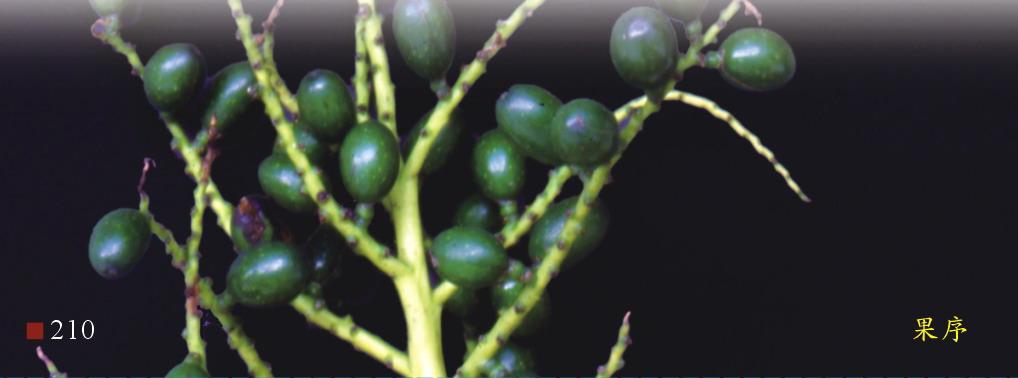 蒲葵-果序