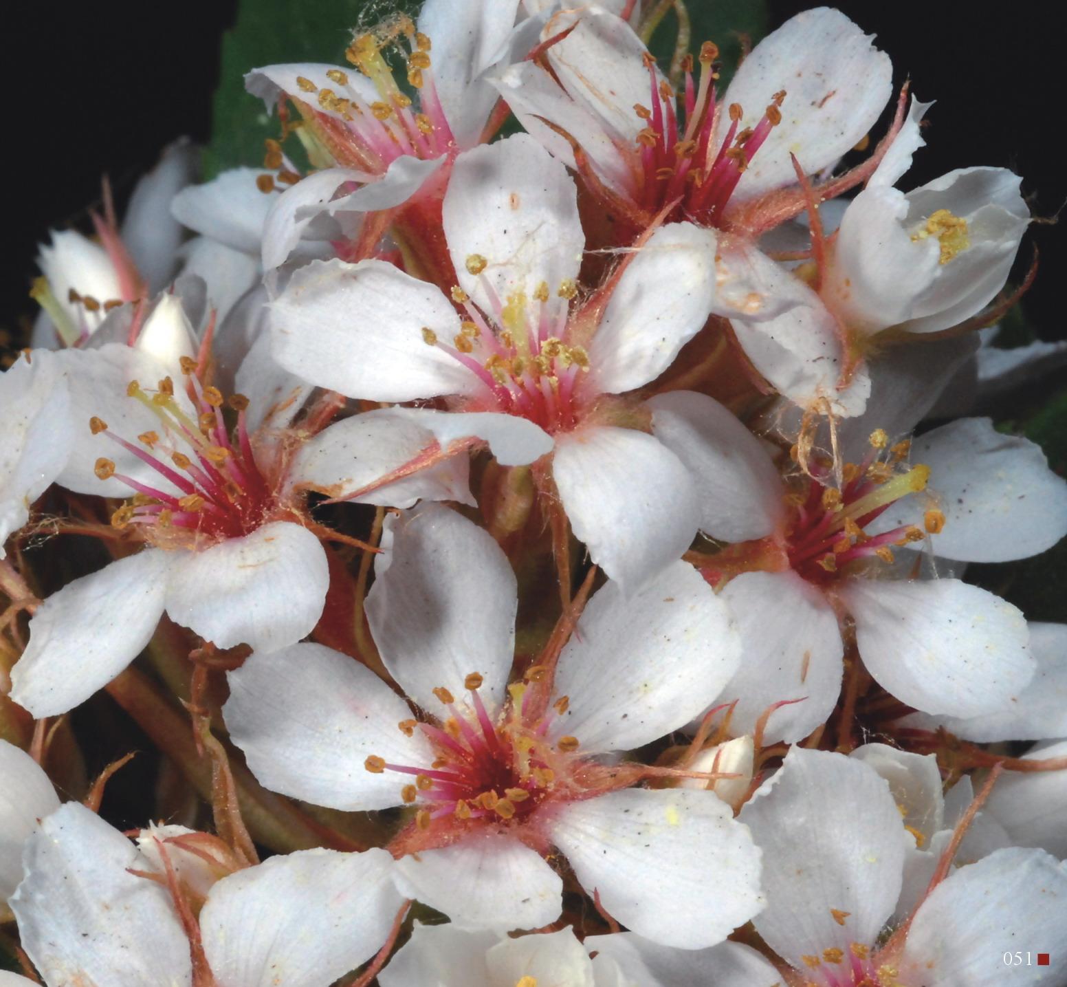 色彩繽紛的田代氏石斑木適合作為景觀植物