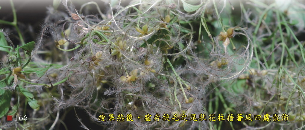 瘦果熟後,宿存被毛之尾狀花柱籍著風四處散佈