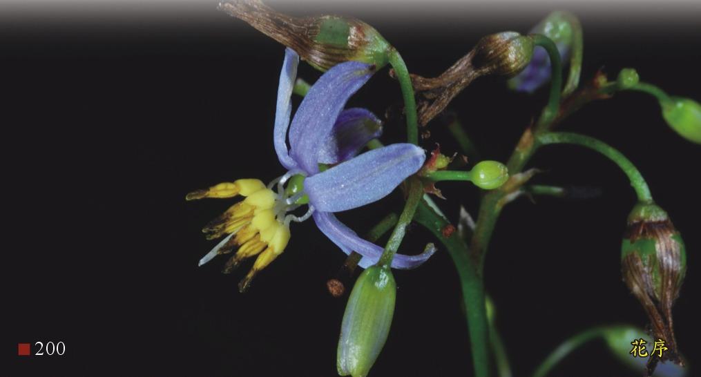 桔梗蘭-花序