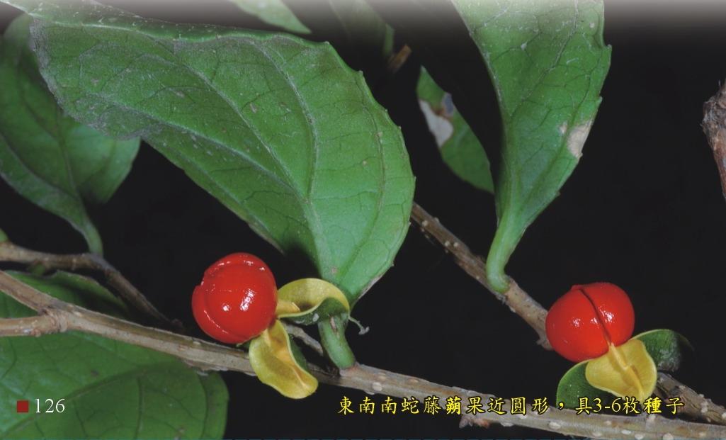東南南蛇藤蒴果近圓形,具3-6枚種子