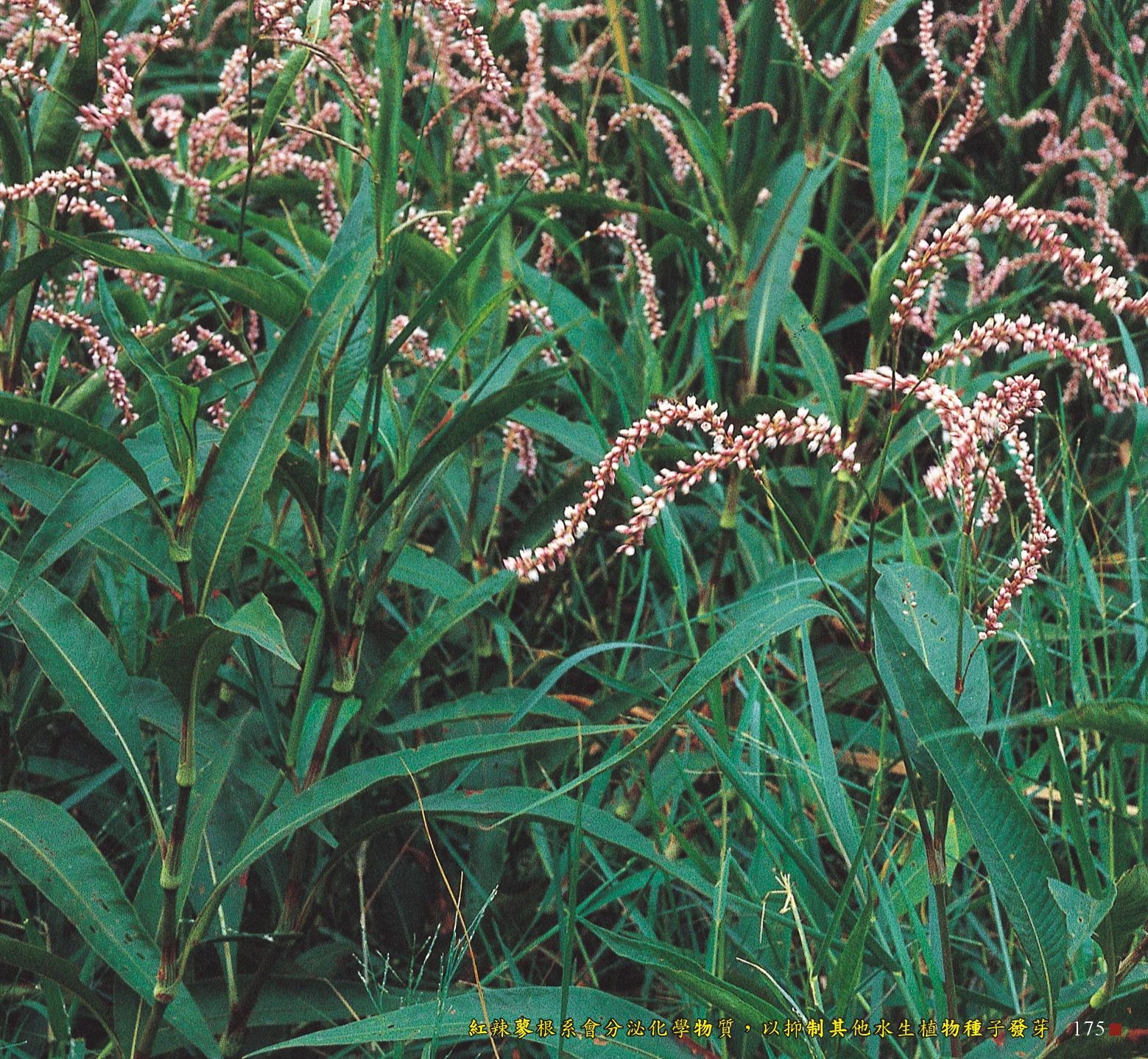 紅辣蓼根系會分泌化學物質,以制其他水生植物種子發芽