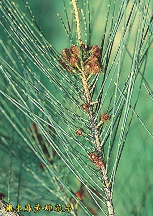 銀木麻黃-雌花序