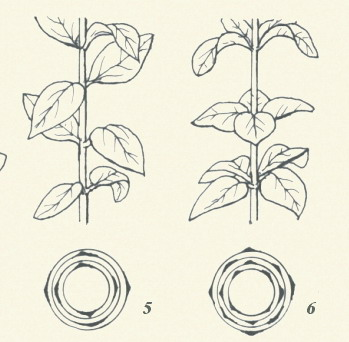 圖板1-葉序,編號5到6,上下二節之葉若各相距90度者,稱十字對生。