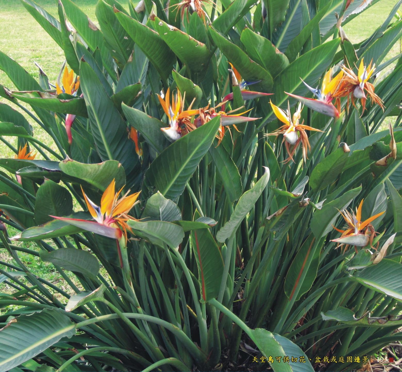 天堂鳥可供切花、盆栽或庭園造景