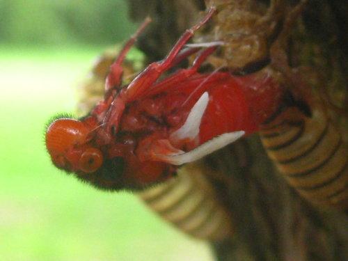 黑翅蟬羽化
