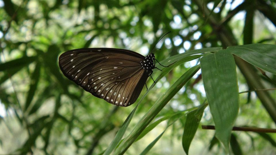 金門紫斑蝶