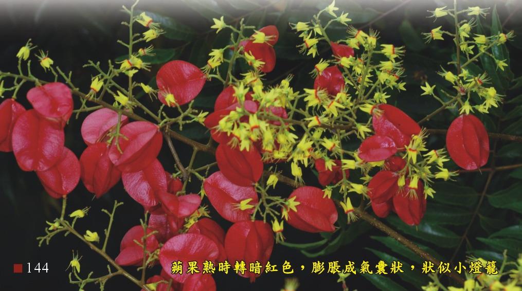 蒴果熟時轉為暗紅色,膨脹成氣囊狀,狀似小燈籠