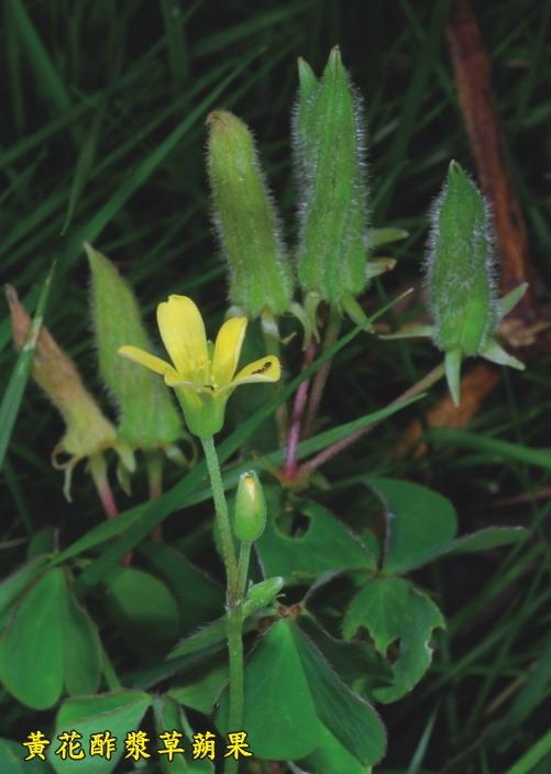 黃花酢漿草蒴果