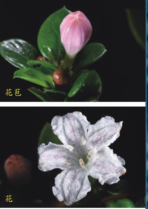 六月雪的花與花苞