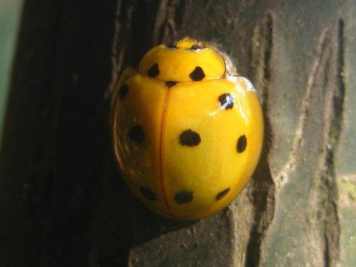 十斑大瓢蟲-晶瑩剔透