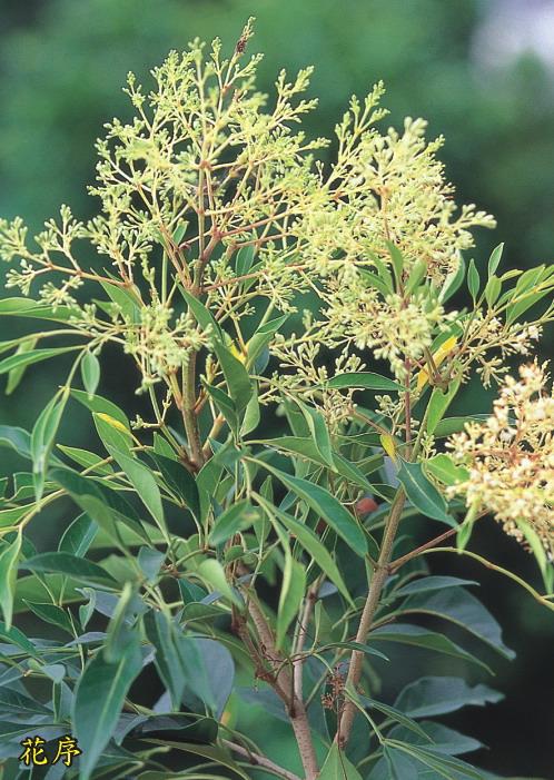 光蠟樹-花序