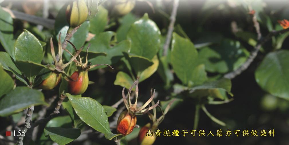 山黃梔種子可供入藥亦可供做染料