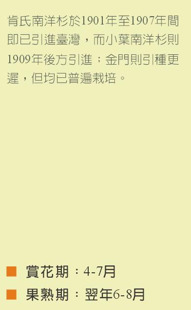 小葉南洋杉-小文