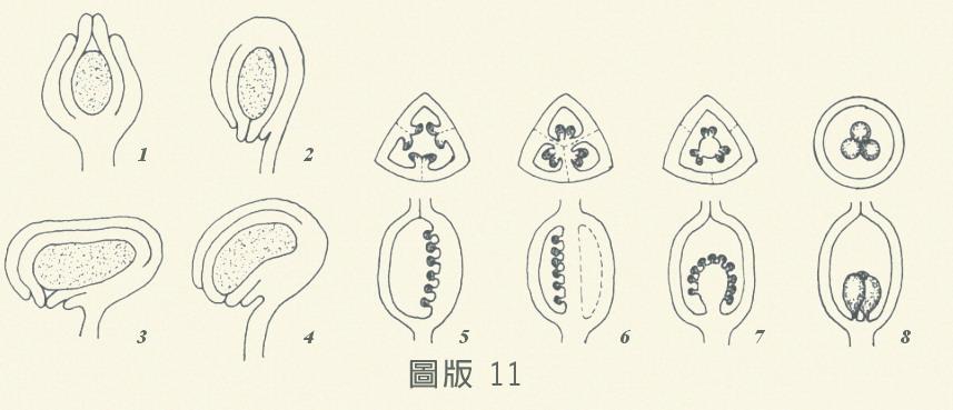 胚珠-圖版11