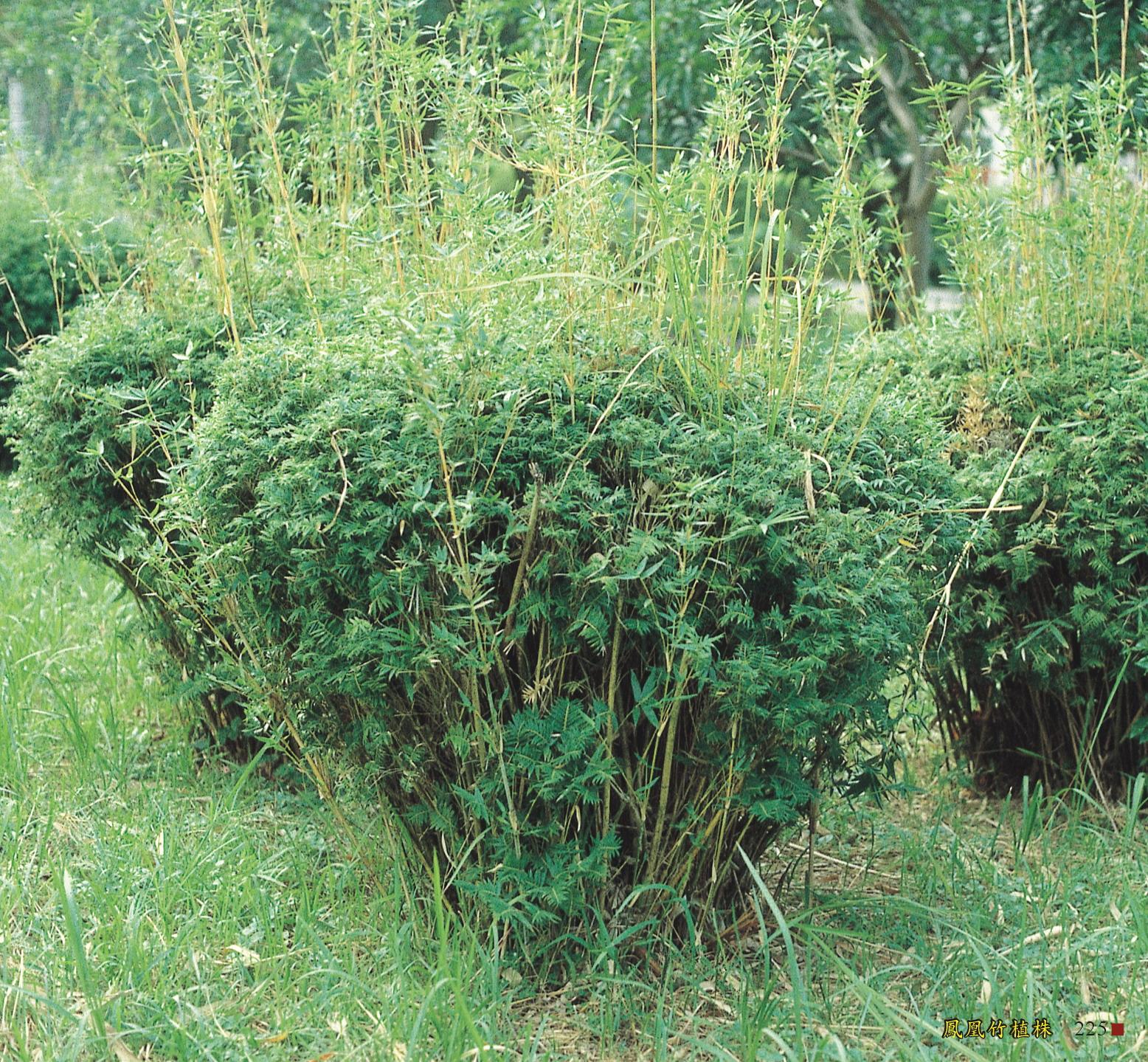 鳳凰竹植株