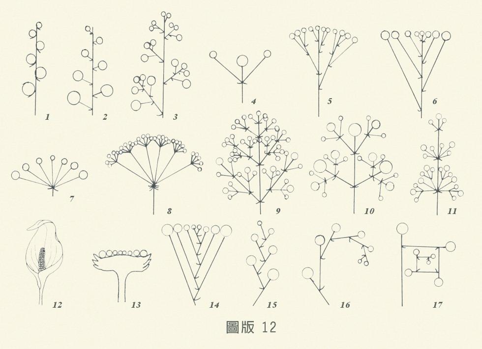 花序-圖版12