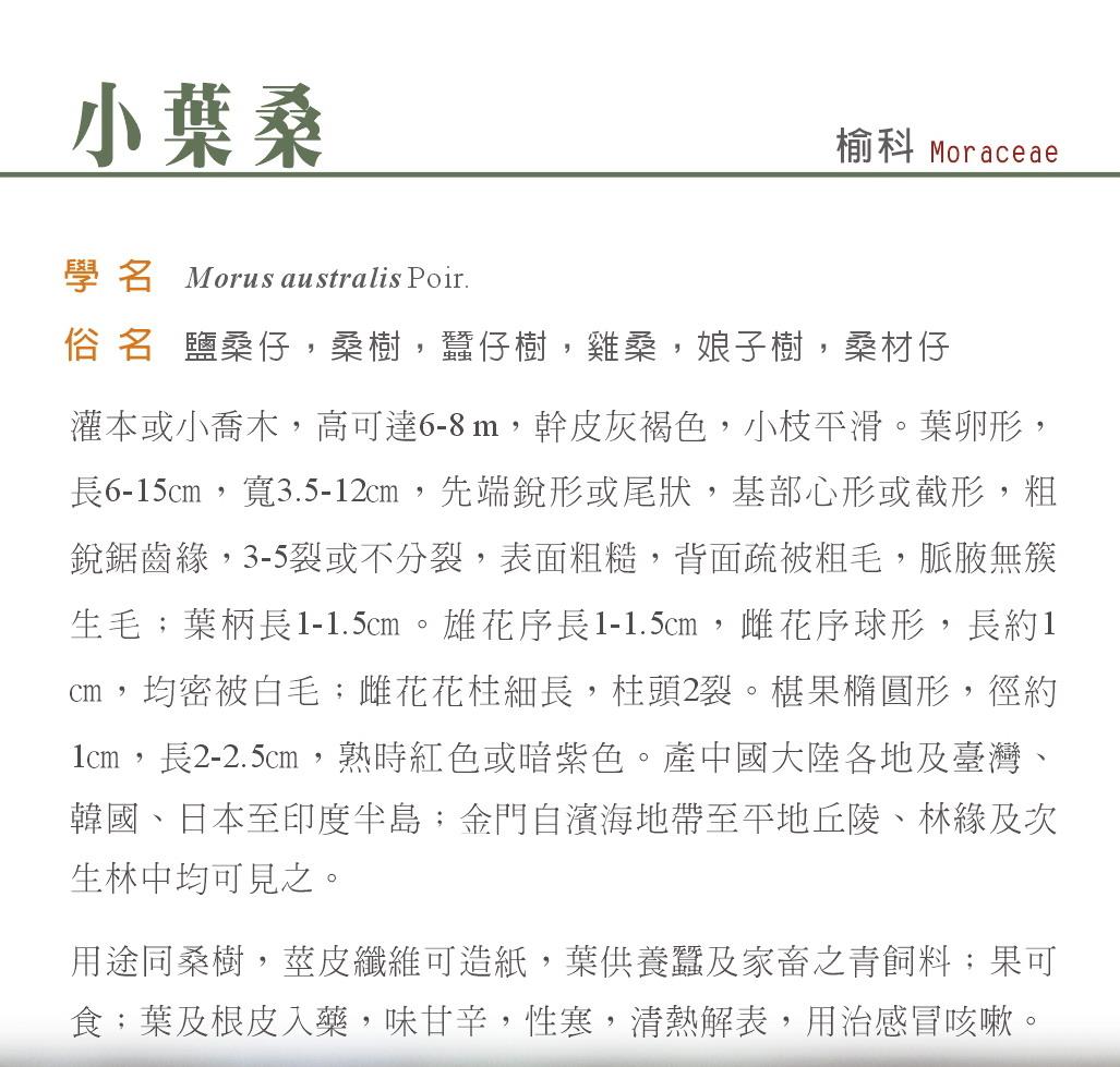 小葉桑-雄花序
