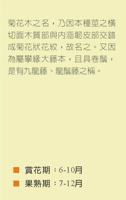 菊花木-小文