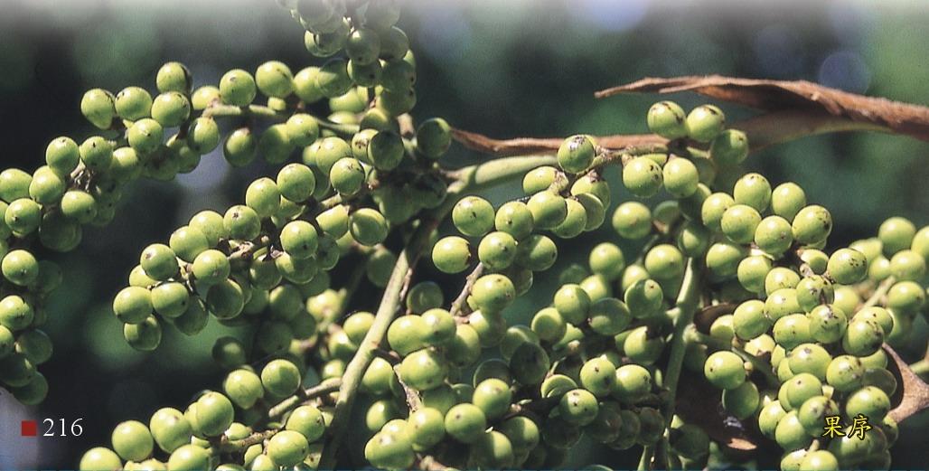 華盛頓椰子-果序
