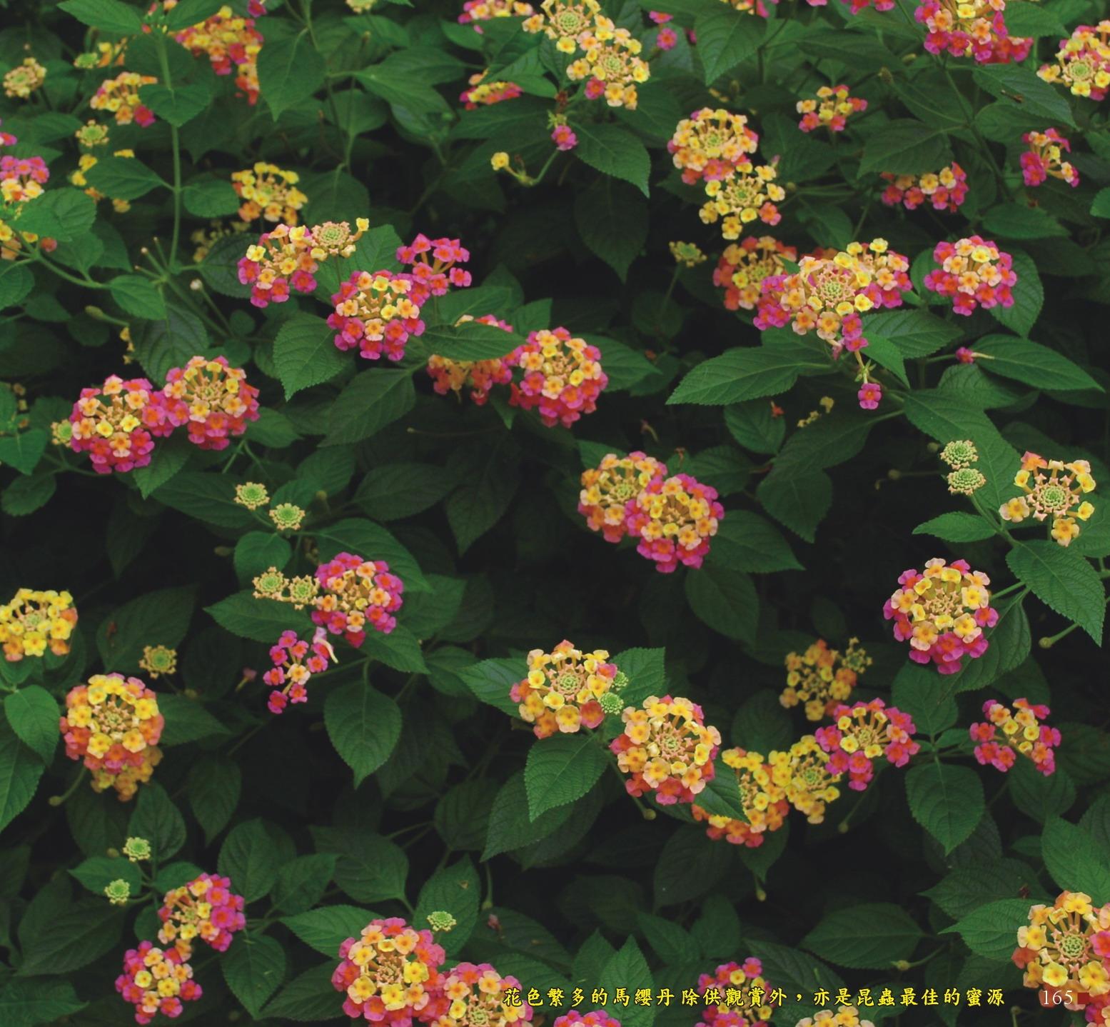 花色繁多的馬纓丹除供觀賞外,亦是昆蟲最佳的蜜源