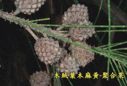 木賊葉木麻黃-聚合果
