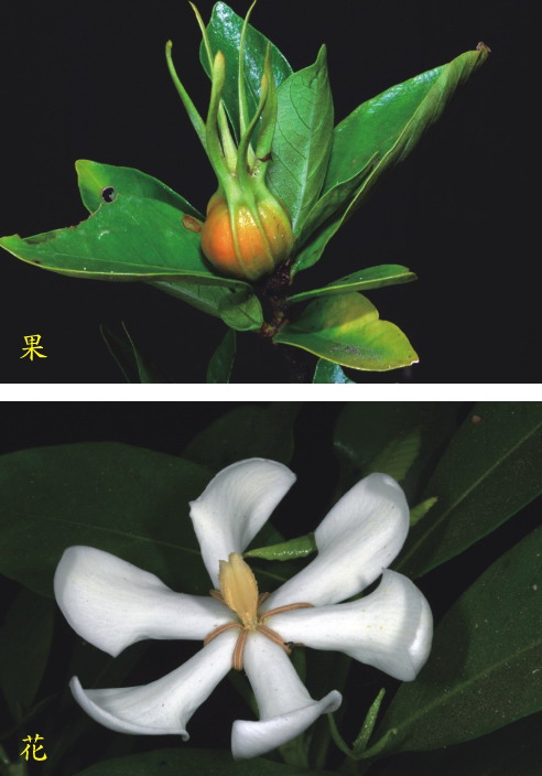 山黃梔的花及果