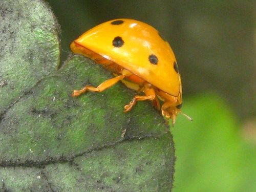 十斑大瓢蟲-很好的益蟲