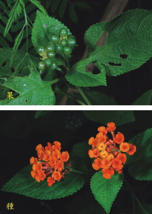 馬纓丹-果及花序