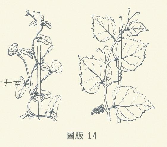 莖的種類-圖版14