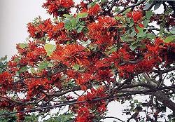 刺桐花開,滿樹通紅