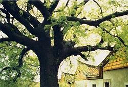 長新芽的老樹,翠綠的樹葉與灰黑樹幹形成對比