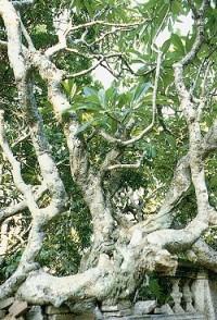 老樹粗大的樹幹頗為特殊