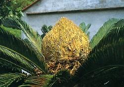 開出黃色大花朵的老鐵樹