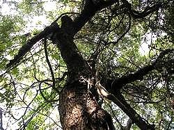 金門老樹概況照片共兩張