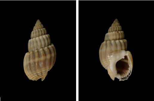 粗肋織紋螺