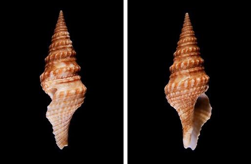 環珠捲管螺
