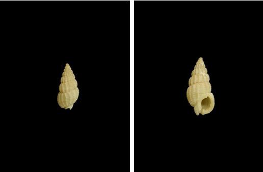 黑線織紋螺