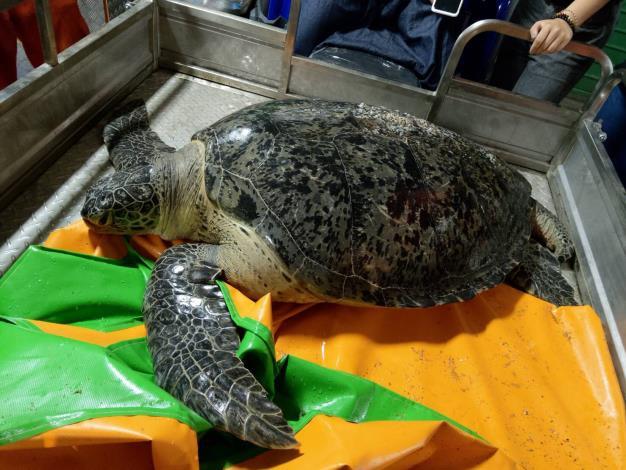 綠蠵龜救援照片