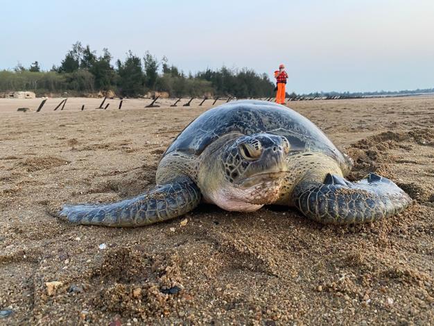 綠蠵龜擱淺照片