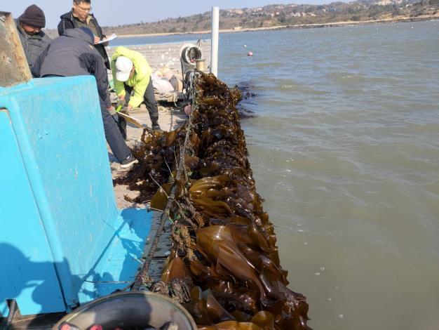 海上養殖海帶作業