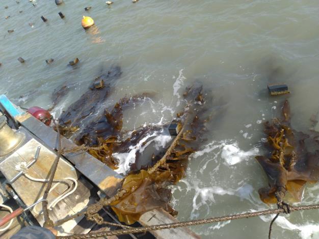 輔導戶於新湖漁港外側海域養殖的海帶-2