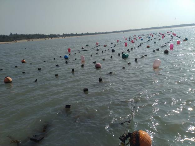 輔導戶於新湖漁港外側海域養殖的海帶-1