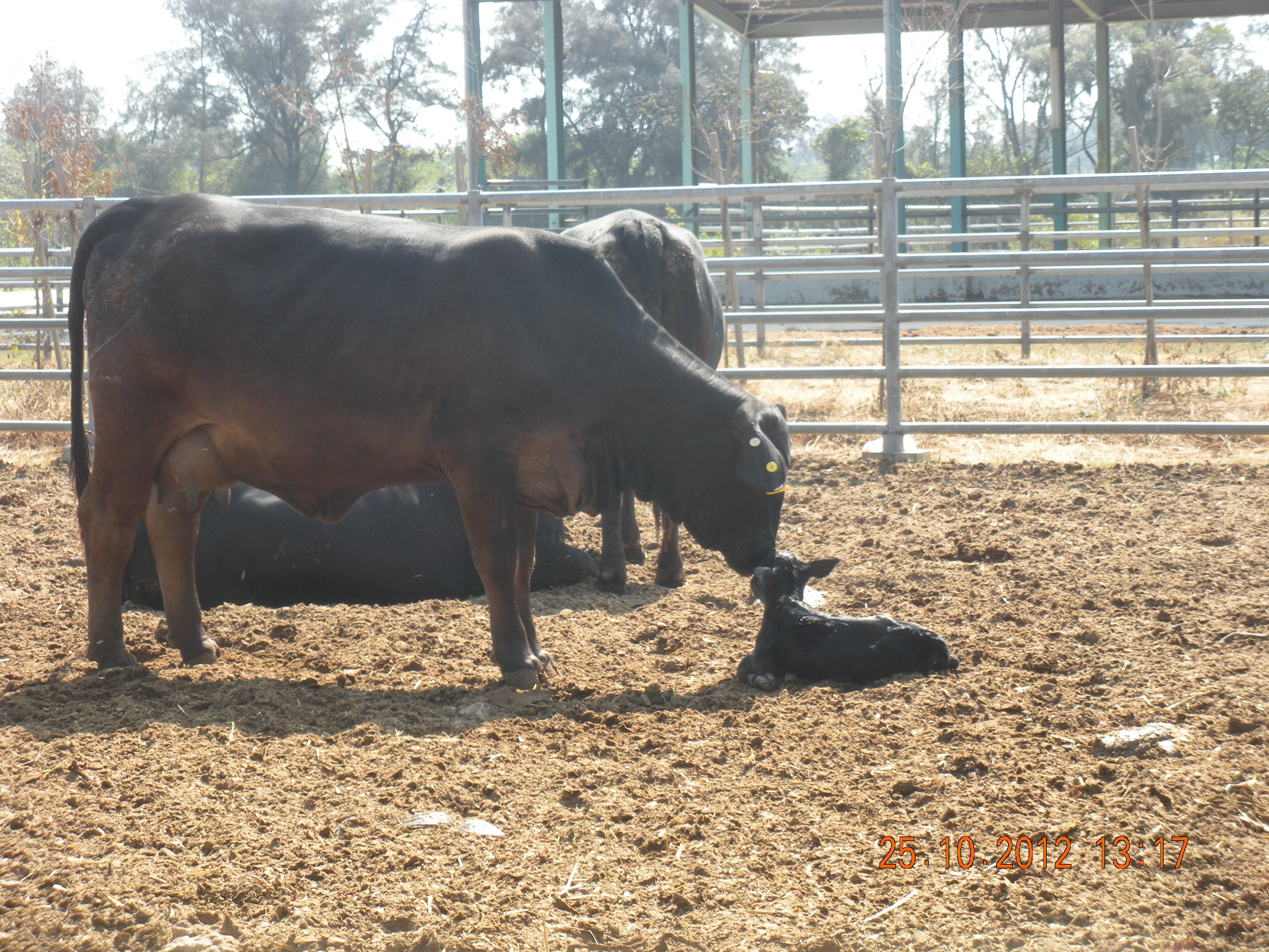 第一隻仔牛出生