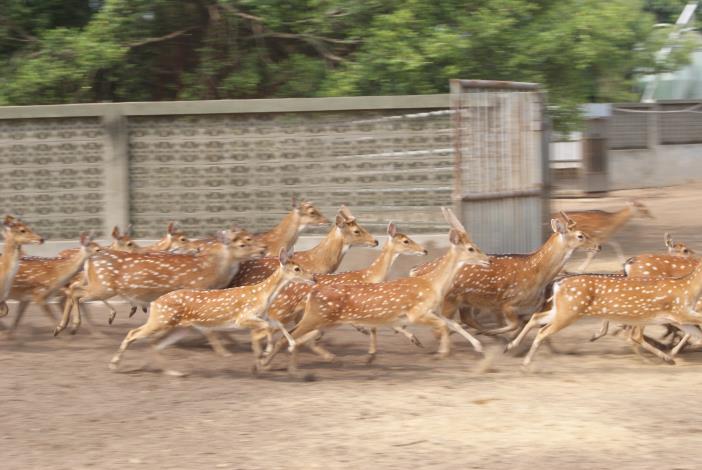本所長期進行臺灣梅花鹿之保育並進行研究