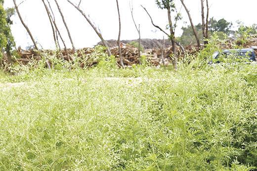 銀膠菊是最具全球代表性強勢入侵的外來種植物之一,金門地區最常見於荒農地、草生地等處蔓生,對於此害草的移除,縣府鼓勵社區動員參與。(縣府建設處提供)