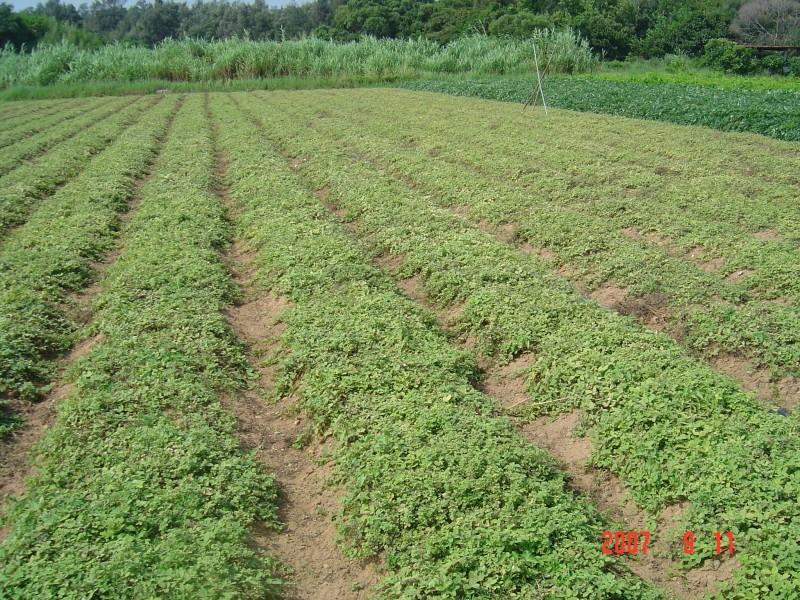 農試所-一條根照片